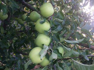 Vînd livada de măr de 8 ani (3ha măr, 0,5 ha prună)  15000 euro