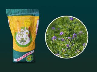 Seminte de  lucernă paola,  italia  tratată / netratată 10kg