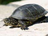 Broaște țestoase de apă