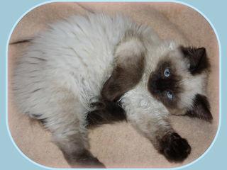 Чудесный красавец  пушистый невский маскарадный котенок.