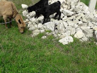 Vând lapte de capră în sat. Măgdăceşti