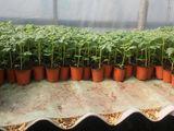 Crestem rasaduri de legume la comanda pentru terenuri protezate si cimp deschis.