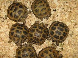 Среднеазиатская сухопутноя черепаха