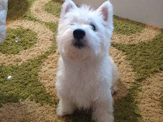 FCI, West Highland White Terrier. Вест-Хайленд-Уайт-Терьер