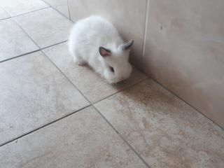 Карликовые декоративные кролики.