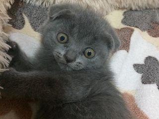 чистокровный шотландский кот