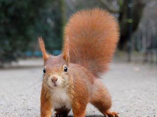 Cumpăr veveriță.