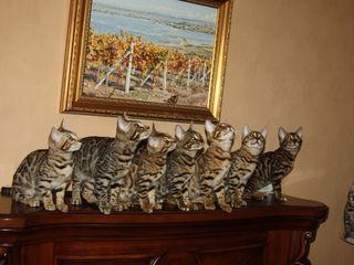 Pisici bengaleze provenite din parinti cu un pedigree bogat Бенгал