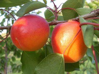 Pomi altoiti fructiferi cais, persic, prun ,cires gutui , visin ...