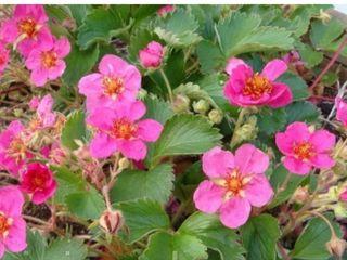 Декоративная, вечнозелёная земляника с розовыми цветами