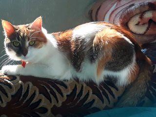 A disparut pisica roscata 2 ani,Curea rosie la git.