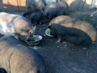 Vindem carne proaspata de porcei ecolojic-vietnameji jivoi ves nu taiem.