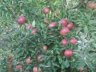 Dăm în arendă livadă de mere