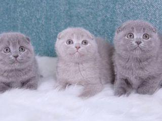 Вислоухие шотландские котята. Чистая порода.