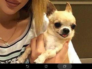 Чихуахуа Chihuahua  Кобель на вязку