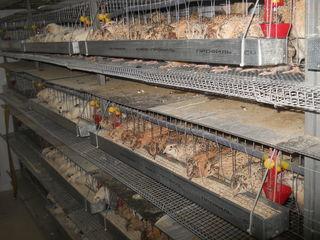 Oua de prepelite pentru alimentare si incubare. Перепелиные яйца для инкубации и питания