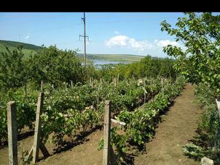 Земельный участок с виноградником 6 ар
