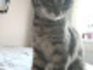 Avem nevoie de ajutor... A fost pierdută o pisică în  cartierul Sculeni