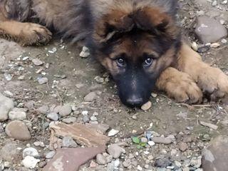 Продаю щенка длиношорстной немецкой  овчарки