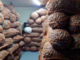 продам грецкий орех Калиброваный  10 тонн с документами !!!