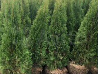 Tuia smaragd moldoveneasca