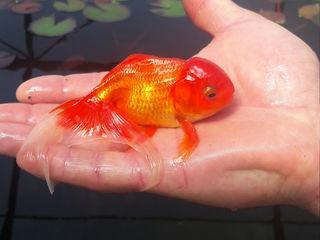 Золотая рыбка и водяная лилия (Nymphea).