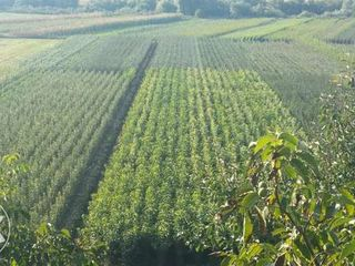 Pomi fructiferi in romaniea angro cantitati mari!