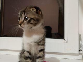 Продяются котята шатланцы.