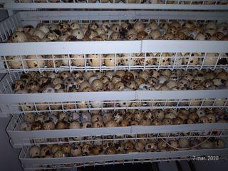 Oua de prepeliță pentru incubare