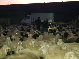 Cumpar oi berbeci cirlani capre закупаю овцы ягнята и козы ! transportul gratis ! Prețuri bune