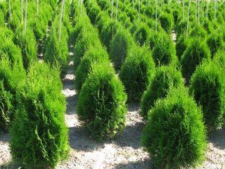 Plante decorative vesnic verzi si frunza cazatoare in com. Tohatin, mun. Chisinau