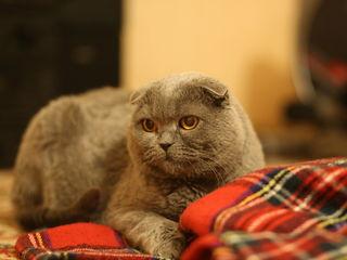 Вязка с племенным шотландским вислоухим котом!