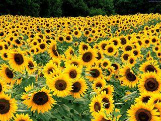 Herbicid Pulsar. Seminte de floarea soarelui.