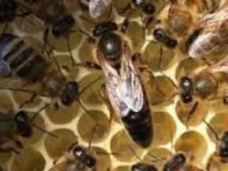 Пчеломатки Карпатка 2021