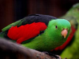 Продам - краснокрылый попугай, птенец