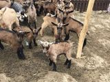 Vand stina de capre