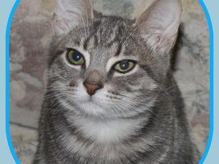 Шотландский прямоухий котенок. Голубой мрамор.