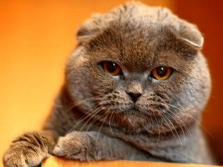 Клубный,племенной кот приглашает на вязку!