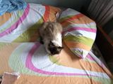 Телецентр, Пропал сиамский котик 2-х годиков