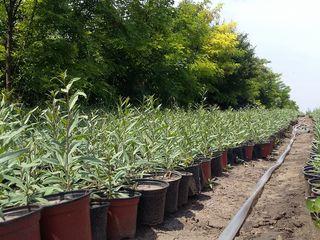 Vind puieti de Goji pentru plantare