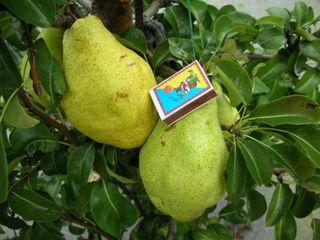 Pomi fructiferi - par  ( prassad ) Seineț  Kyfera (Seanskaia) ,Vistovocinaia ,Noiabriscaia...