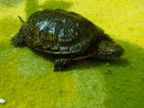 Broasca-ţestoasa