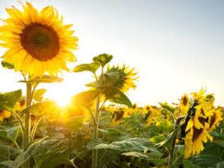 Cumparam floarea soarelui si porumb in cantitati mari la un pret avantajos