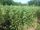 Copaci fructiferi