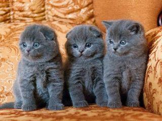 Вислоухие котята Skottish Fold !