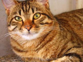 Красивейший котенок породы серенгети