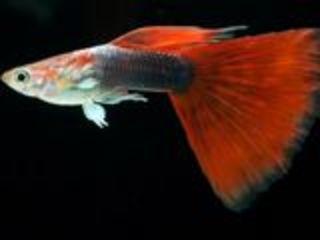 Золотых рыбки Телескопы Жемчужина  Красная шапка  Гуппи Декоративные лягушки