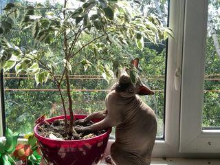 Котик ,  канадский сфинкс ,приглашает в гости  кошечку