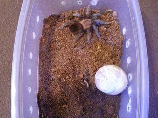 Наземный паук птицееда Brachypelma vagans