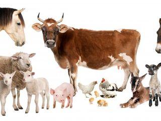 Cumpar animale.   куплю любой скот.  быки, коровы, овцы.
